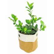 Glorious Gardenia
