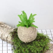 Kokedama - Birds Nest Fern