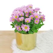 Gilded Chrysanthemum