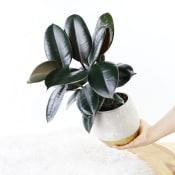 Marvelous Mini Ficus