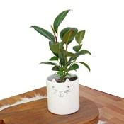 Cattitude Ficus