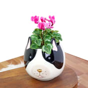 Paw-sitivity Cyclamen