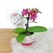Celebration Orchid