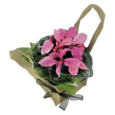 Cyclamen - Soft Pink - Standard
