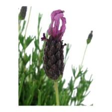 Lavender - Fields Of Provence - Standard