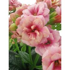 Soft Pink Kalanchoe - Standard