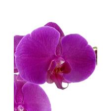 Phalaenopsis - Large Purple - Standard