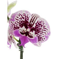 Phalaenopsis - Large Spotty - Standard