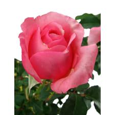 Roses - La Vie En - Standard