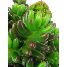 Succulent - Juicy Jellybean - Standard