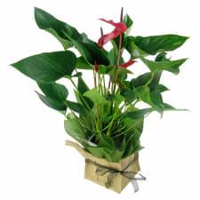 Anthurium Plant - Standard