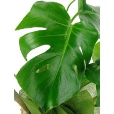 Monstera Plant - Standard