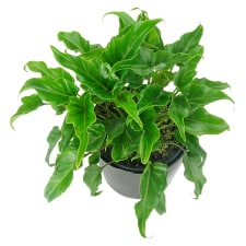Philodendron Plant - Standard