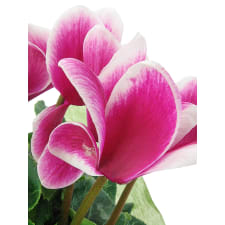 Morning Meadow Cyclamen - Standard