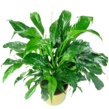 Placid Peace Lily - Standard