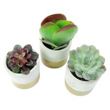 Succulent Trio - Standard