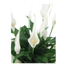 Perpetua Peace Lily - Standard