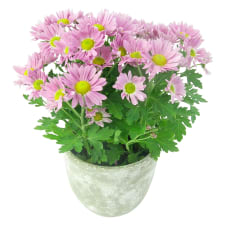 Pink Potted Chrysanthemum  - Standard