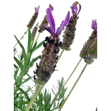 Deluxe Potted Lavender - Standard