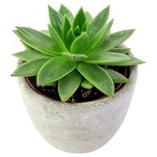 Elegant Succulent - Standard