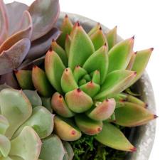 Succulent Garden - Little Lush - Standard