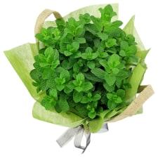 Perfect Pick Mint Plant - Standard