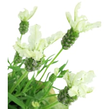 White Lavender - Standard