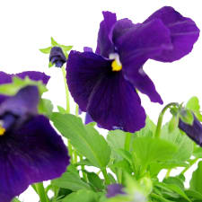 Rustic Potted Pansy - Standard