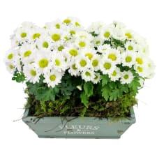 Chrysanthemum Duo - Standard