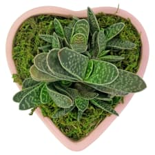 Succulent Garden - Love To You - Standard