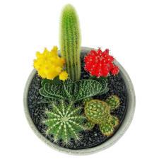 Cactus Garden - Painted Desert - Standard