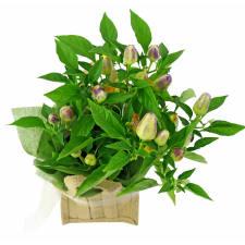 Chilli Plant - Standard