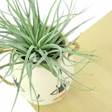 Miss Cosette - Air Plant - Standard