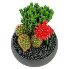 Cacti - Ceramic Pot - Standard