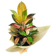 Colourful Croton - Standard