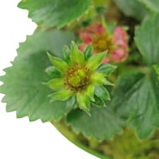 Berrylicious Strawberry Plant - Standard