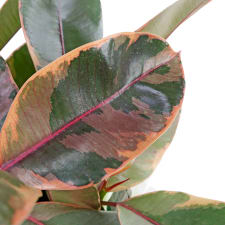 Fascinating Ficus - Standard