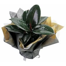 Beautiful Burgundy Ficus - Standard
