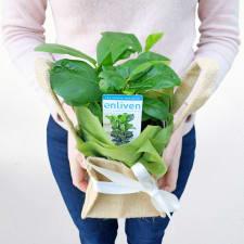 Fabulous Fiddle-Leaf Fig - Standard