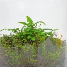 Forest Fern Terrarium - Standard