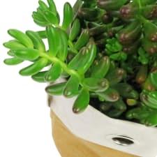 Desert Jewel Succulent - Standard