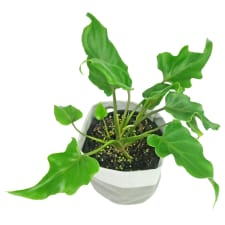 Philodendron - Standard