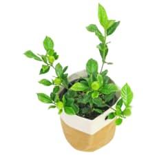 Glorious Gardenia - Standard