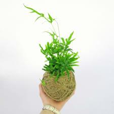 Kokedema Jungle Fern - Standard