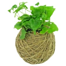 Kokedama - Holly  Fern - Standard