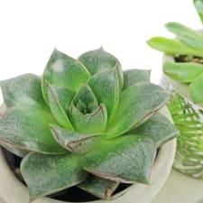 Geo Trio Succulents - Standard