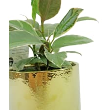Fantastic Mini Ficus - Standard