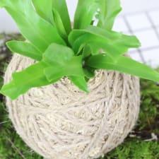 Kokedama - Birds Nest Fern - Standard