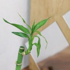 Lucky Bamboo - Standard
