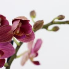 Orchid In Ombre - Green - Standard